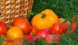 Лучшие сорта томатов сибирской селекции с фото и описанием