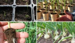 Выращивание лука из семян за один сезон через рассаду Правила посева и ухода Видео