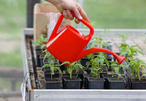 Как подкормить рассаду перцев народными средствами