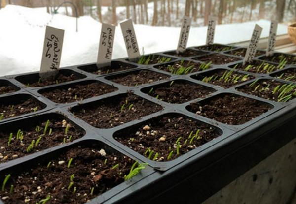 Выращивание лука- батуна
