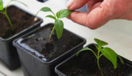 Как и чем подкормить рассаду перцев, чтобы были толстенькие