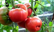 Помидор Бабушкин секрет - описание сорта с фото Отзывы кто сажал Характеристика и урожайность