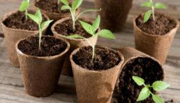 Как правильно пикировать рассаду перцев в домашних условиях