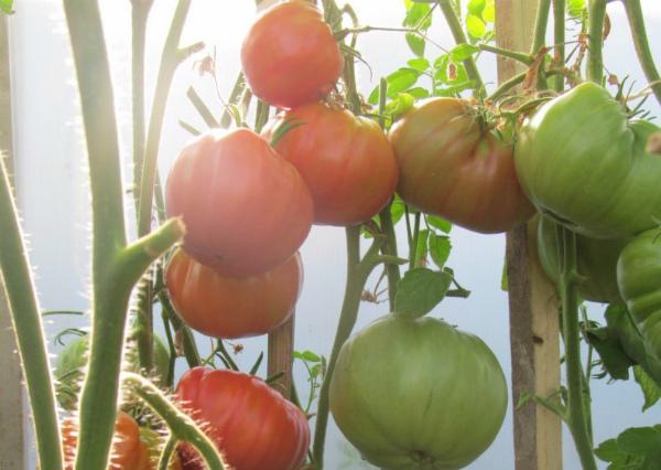 Сорт томатов Бабушкин секрет
