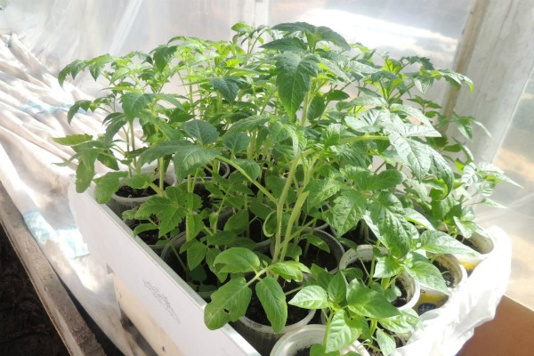 Уход за рассадой томатов Бабушкин секрет