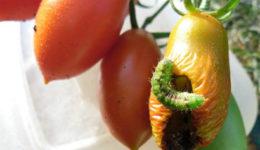 Вредители помидоров, как бороться. Профилактические меры