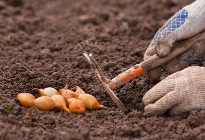Когда сажать лук весной в открытый грунт. Уход после посадки