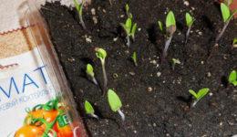 Почему помидоры всходят с семенами на листочках. Профилактика