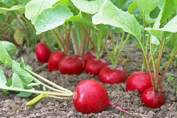Что нельзя сажать после капусты