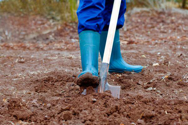 Какая почва и условия нужны для капусты