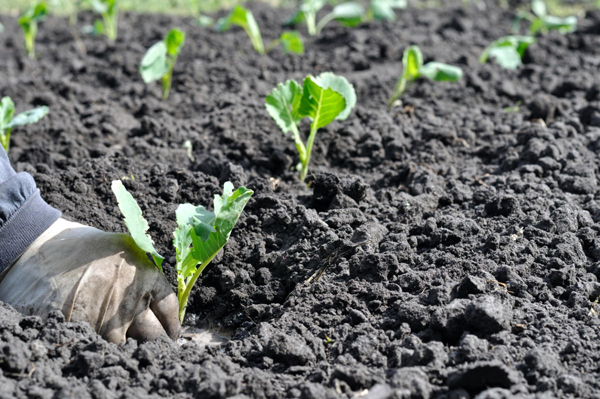 Можно ли сажать капусту после капусты