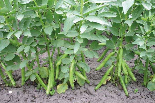 После чего лучше сажать капусту в открытый грунт
