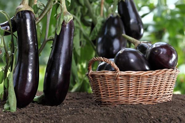 После каких культур можно сажать капусту