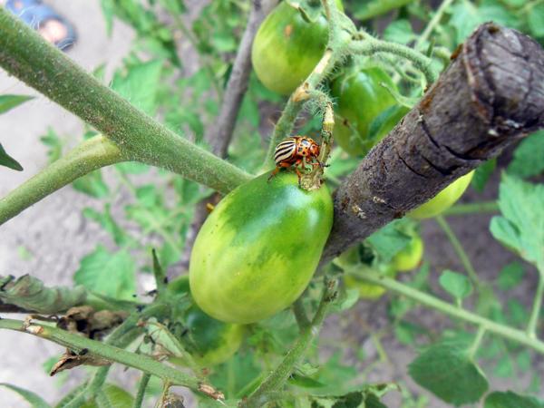 Как бороться с колорадским жуком и его личинками на томатах