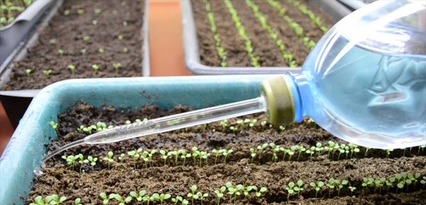 Как часто поливать рассаду петунии
