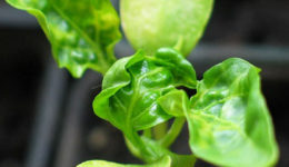 Почему у рассады перца скручиваются листья. Как предотвратить