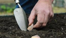 Когда сажать чеснок весной в открытый грунт. Уход после посадки