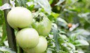 Почему помидоры не краснеют в теплице. Что делать, профилактика