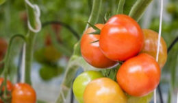 Почему помидоры мелкие и уже краснеют. В теплице, открытом грунте