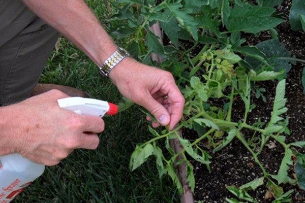 Как реанимировать подмерзшую рассаду томатов