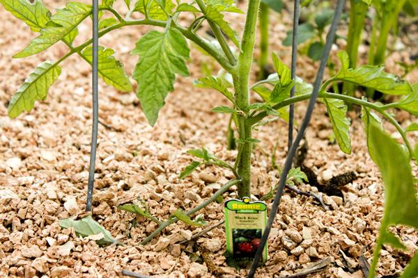 Способы защиты помидор от предстоящих заморозков