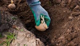 Когда сажать картофель в открытый грунт. Уход после посадки