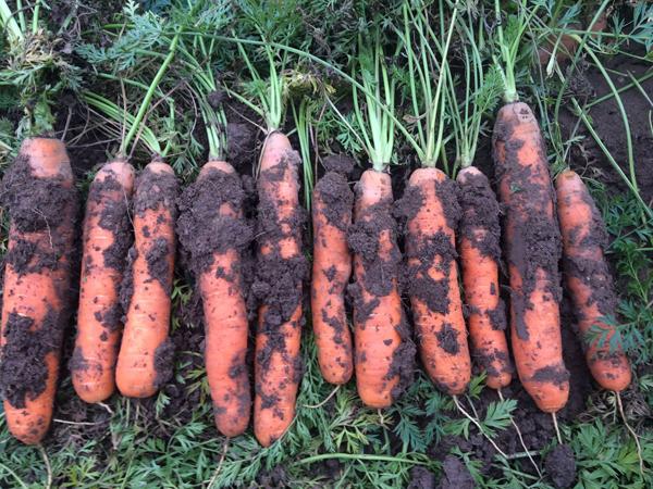 Когда выкапывать морковь в 2019 году