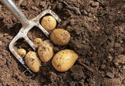 Когда копать картошку на хранение: по лунному календарю, регионам