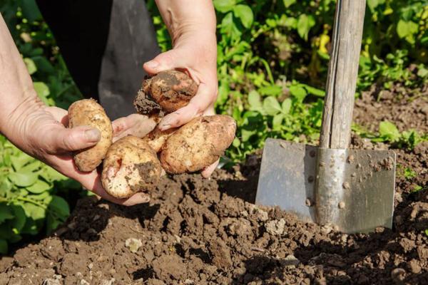 Когда лучше копать картошку на зиму в 2019 году