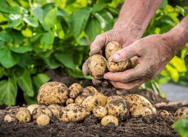Когда копать картошку в 2019 году на хранение